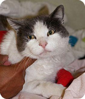 Domestic Shorthair Cat for adoption in Studio City, California - Bob