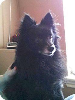Pomeranian Dog for adoption in Norman, Oklahoma - Daphne