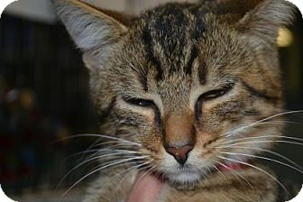 Domestic Shorthair Kitten for adoption in Edwardsville, Illinois - Heinz