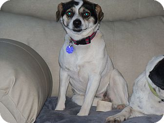 Terrier (Unknown Type, Small)/Pug Mix Dog for adoption in Apache Junction, Arizona - Penny