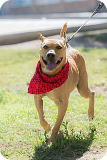 Labrador Retriever Mix Dog for adoption in Santa Monica, California - Frida
