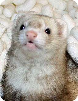 Ferret for adoption in Indianapolis, Indiana - Ella