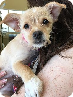 Wirehaired Fox Terrier/Chihuahua Mix Puppy for adoption in Homestead, Florida - Sophie