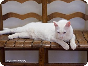 Domestic Shorthair Cat for adoption in Nashville, Tennessee - Ace