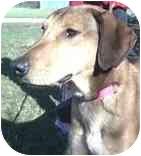 Vizsla/Collie Mix Dog for adoption in Powell, Ohio - Oliver