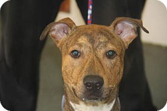 Pit Bull Terrier/Plott Hound Mix Dog for adoption in Greensboro, North Carolina - Cam