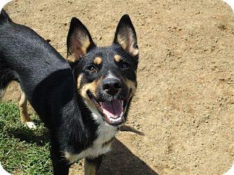 German Shepherd Dog/Australian Cattle Dog Mix Dog for adoption in Liberty Center, Ohio - Sara