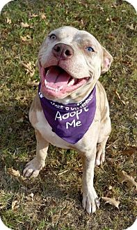 Pit Bull Terrier/American Pit Bull Terrier Mix Puppy for adoption in Atlanta, Georgia - Pickles