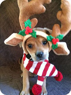 Pug/Dachshund Mix Puppy for adoption in Kittery, Maine - Deer