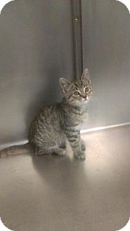 Domestic Shorthair Cat for adoption in South Haven, Michigan - Glenn