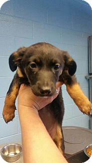 Shepherd (Unknown Type) Mix Puppy for adoption in New York, New York - Ava