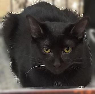 Bombay Kitten for adoption in Lyons, Illinois - Woodstock