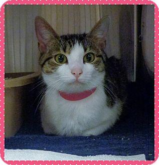 Domestic Shorthair Cat for adoption in Marietta, Georgia - KISA-available 6/10