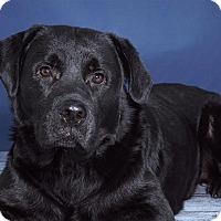Adopt A Pet :: Rambo - Sudbury, MA
