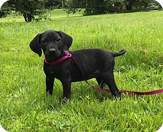 Labrador Retriever/Bloodhound Mix Puppy for adoption in Southington, Connecticut - Louisa