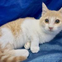 Adopt A Pet :: Button - Salem, OH