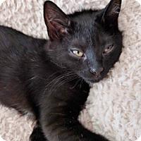 Adopt A Pet :: Hershey - St. Louis, MO