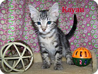 Domestic Shorthair Kitten for adoption in Miami Shores, Florida - Kayan