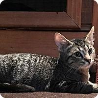 Domestic Shorthair Kitten for adoption in Phoenix, Arizona - Jack