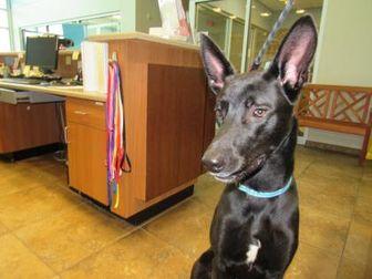 Shepherd (Unknown Type) Mix Dog for adoption in Wichita Falls, Texas - Adoptable! Zeus
