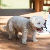 Adopt A Pet :: Teddy Bear - Jackson, MI