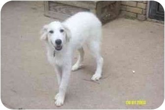 Great Pyrenees Mix Dog for adoption in Kyle, Texas - Tilly