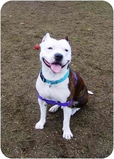 American Pit Bull Terrier Dog for adoption in Providence, Rhode Island - Little Man
