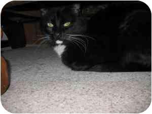 Domestic Shorthair Cat for adoption in Warren, Michigan - Peppi! $75 Adoption Fee!