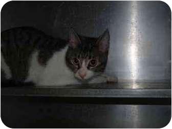 Domestic Shorthair Cat for adoption in El Cajon, California - Sandy