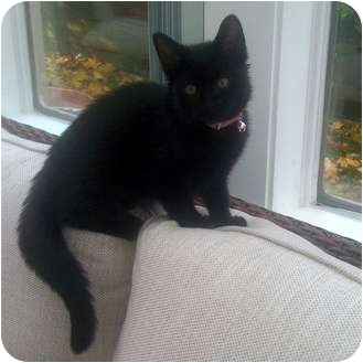 Domestic Shorthair Kitten for adoption in Toronto, Ontario - Sheba