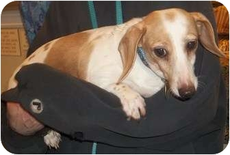 Dachshund Dog for adoption in Oak Ridge, New Jersey - Renee