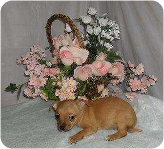 Chihuahua Puppy for adoption in Chandlersville, Ohio - Puppy 2