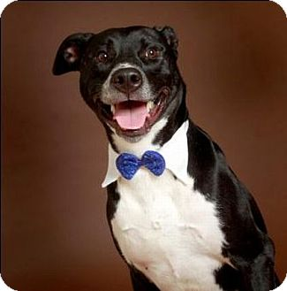 Labrador Retriever/American Pit Bull Terrier Mix Dog for adoption in Austin, Texas - Spencer