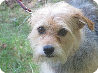 Terrier (Unknown Type, Small)/Schnauzer (Miniature) Mix Dog for adoption in Hagerstown, Maryland - Snickers