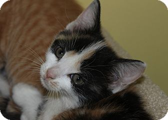 Calico Kitten for adoption in Richmond, Virginia - Penny
