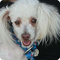 Adopt A Pet :: Yankee - Canoga Park, CA