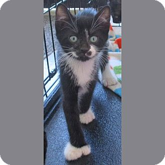 Hemingway/Polydactyl Kitten for adoption in Red Bluff, California - ARMANI