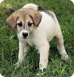 Great Pyrenees/Australian Shepherd Mix Puppy for adoption in Albany, New York - Austin