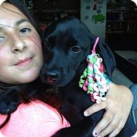 Adopt A Pet :: Black Lab babies - Marlton, NJ