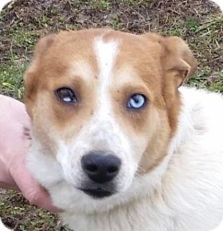 Husky Mix Dog for adoption in Huntingburg, Indiana - Linus