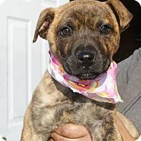 Adopt A Pet :: Sahara - Randolph, NJ
