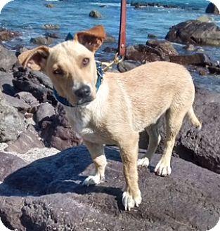 Labrador Retriever/Terrier (Unknown Type, Small) Mix Puppy for adoption in Corona, California - TUCKER
