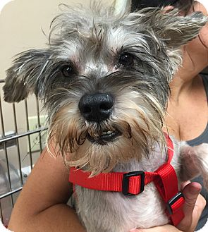 Schnauzer (Miniature) Mix Dog for adoption in Ft. Lauderdale, Florida - Ricky