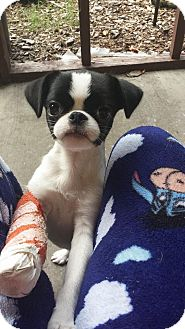 Papillon/Boston Terrier Mix Puppy for adoption in East Hartford, Connecticut - Ronnie Adoption pending