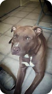 American Pit Bull Terrier/American Staffordshire Terrier Mix Dog for adoption in Covington, Tennessee - Sarge