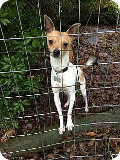 Miniature Pinscher/Chihuahua Mix Dog for adoption in Surrey, British Columbia - Kermit
