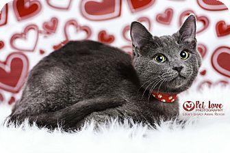 Russian Blue Kitten for adoption in Cincinnati, Ohio - Nemo