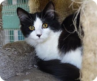 Domestic Mediumhair Cat for adoption in Lathrop, California - Zatanna