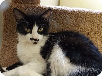 Domestic Shorthair Cat for adoption in Floral City, Florida - Julia