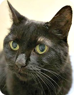 Domestic Shorthair Cat for adoption in Montclair, New Jersey - Audrey Lee